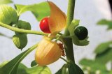 Ashwagandha extract, benefits, health, effects, plant