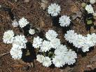 Bloodroot herb extract, benefits, health, effects, plant, supplements