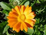 Calendula side effects