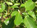 Camphor herb extract, benefits, health, effects, plant, supplements