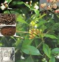 Clove herb extract, benefits