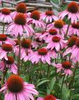 Echinacea herb extract, benefits, health, effects, plant