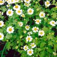 Feverfew extract, benefits, health, effects