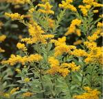 Golden rod extract, benefits, health, effects