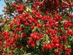 Hawthorn extract, benefits, health, effects, plant