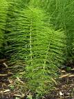 Horsetail extract, benefits, health, effects