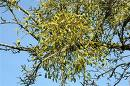 Mistletoe health benefits
