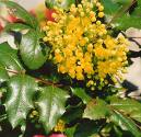 Oregon grape herb extract, benefits