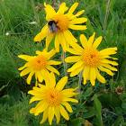 Arnica extract, benefits, health, effects