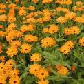 Calendula extract, benefits, health, effects