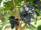 Grape herb extract, benefits, health